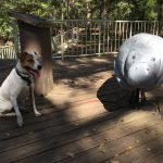 a dog warily eyes a wooden manatee exhibit at Manatee Springs State Park