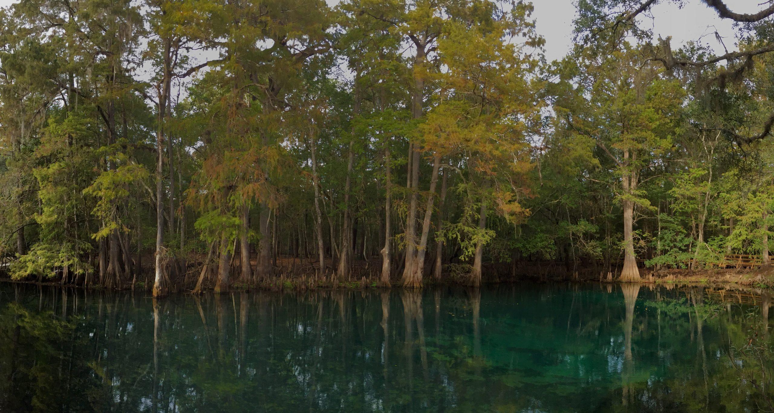 cypress trees grow alongside the water of manatee springs