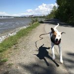 Rover the adventuring dog runs along the coastal trail in Anchorage, Alaska