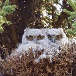 Two owlets sit in their nest in Denali National Park