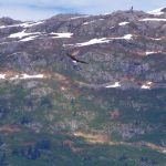 A bald eagle soars in front of the mountains near Valdez Port.