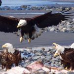 A bald eagle comes in for a landing near some scraps on the beach
