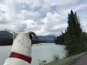Rover, the Vagabond Dog, looks at the Athabasca River from a viewpoint along the Icefield Parkway. The Icefield Parkway connects Jasper and Lake Louise in Alberta, Canada. It travels through bot Jasper National Park and Banff National Park.
