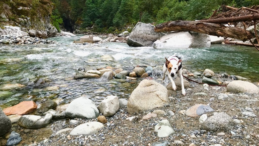 Rover the vagabond dog splashes out of the Coqihalla River in British Columbia, Canada