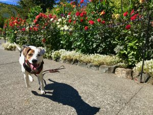 Rover the vagabond dog enjoys the sights and smells of Butchart Gardens in Victoria, British Columbia