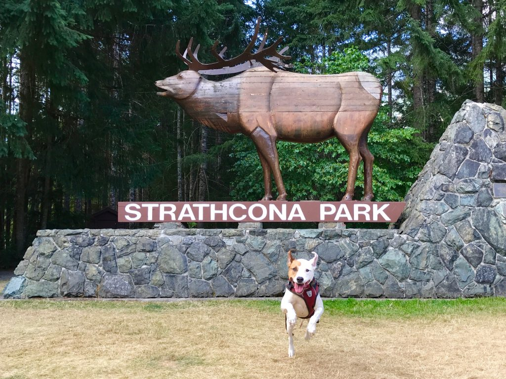 "Rover the vagabond dog frolics in front of a giant elk statue standing on a platform with the words ""Strathcona Park"". The statue is made from laminated cedar boards harvested from around the area."