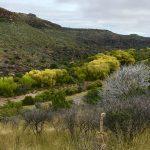 The Davis Mountain Scenic Loop follows alongside Limpia Creek through Limpia Canyon near Fort Davis, Texas. Cottonwood trees along the creek begin to show their autumn colors.