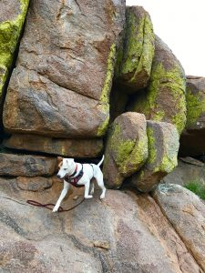 Rover the vagabond dog climbs on red and grey sandstone rocks along the Davis Mountains Scenic Drive in west Texas.