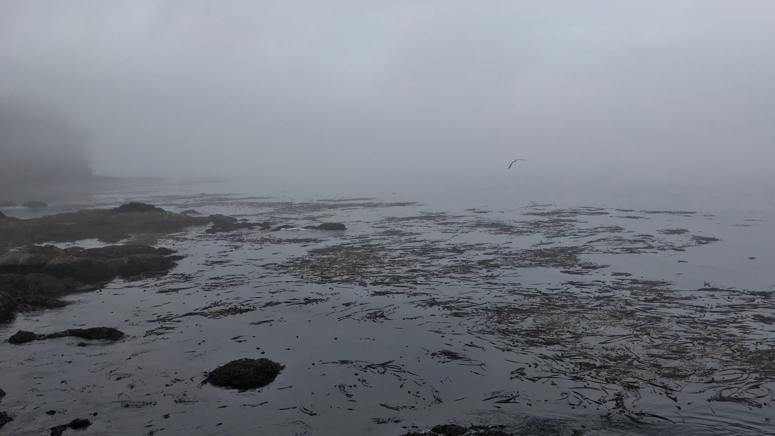 The waters off the rocky coast of Juan De Fuca Straight merge with the morning fog. A lone seagull flies through the scene, above the rocks and patches of seaweed.