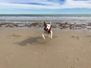 Rover the vagabond dog does a happy dance on the beach at Padre Island National Seashore