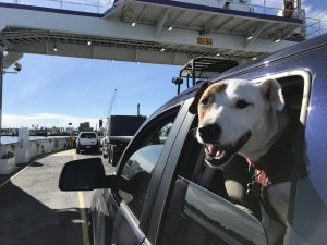 Rover the vagabond dog pokes his head out the back window of the truck, waiting for the ferry to take us across the channel to Mustang Island