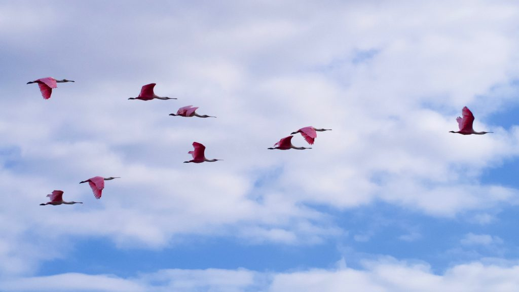 A flock of roseate spoonbills flies through a cloudy sky, forming a loose chevron of pink against the blue sky and white clouds