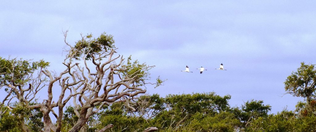 Three whooping cranes fly just above the tops of the live oak trees in Goose Island State Park near Rockport, Texas